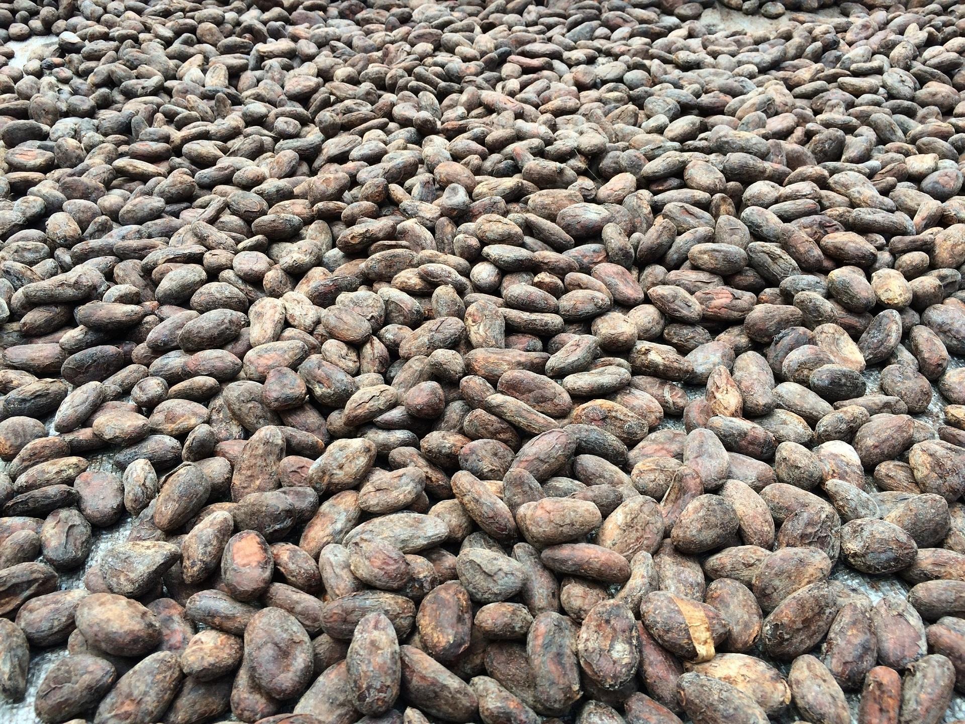 cocoa-shells